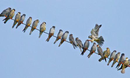 Amur Falcons and their halt in Nagaland